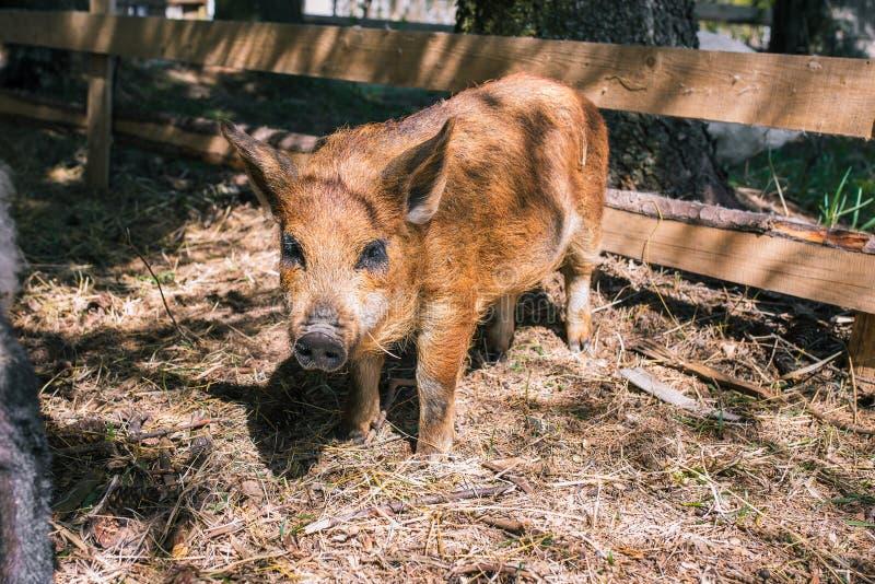 一点走通过森林的家养的猪 布朗猪调查照相机 幼小好奇公猪 ?? 在a的增长的猪 图库摄影