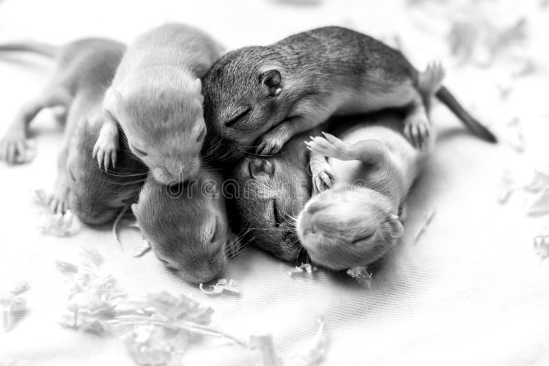 一点逗人喜爱的睡觉的老鼠婴孩 宏观图象 免版税库存图片