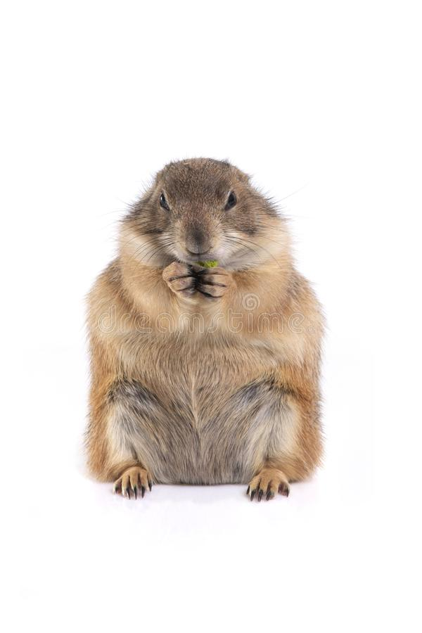 一点逗人喜爱的草原土拨鼠开会和喜欢吃 图库摄影