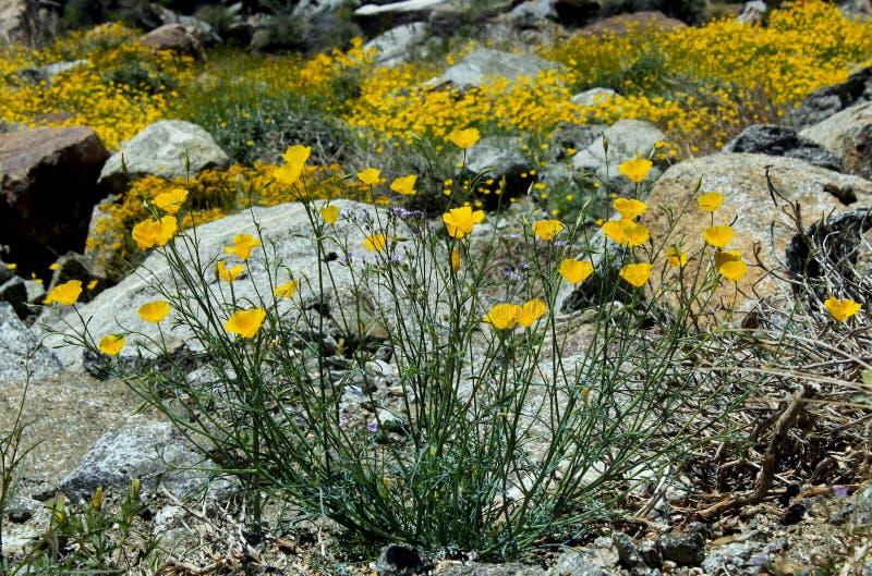 一点金鸦片,安扎河博雷戈沙漠国家公园 库存照片