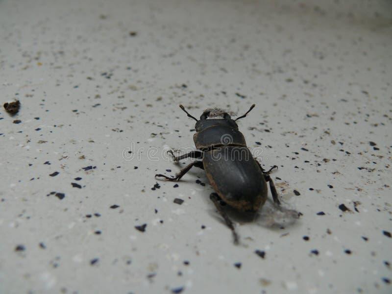 一点锹虫 库存照片