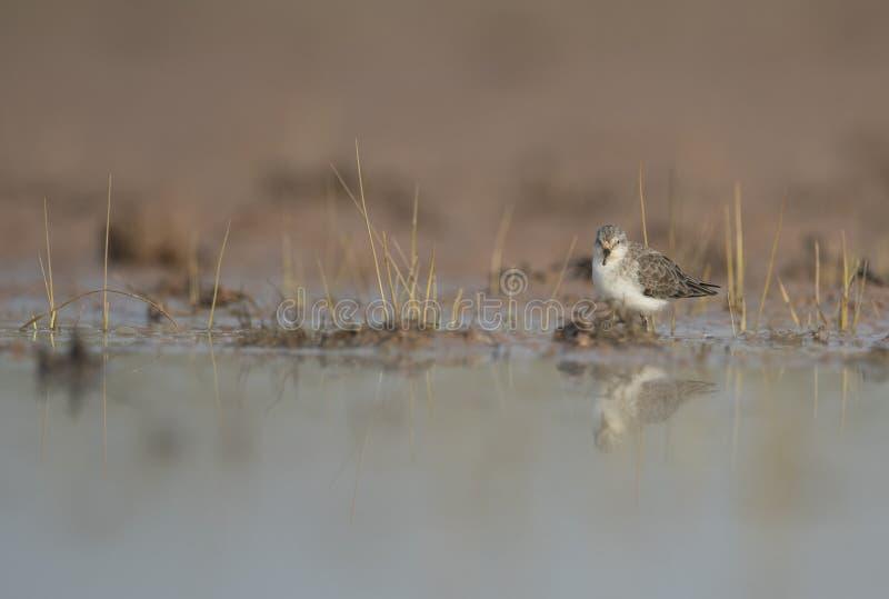 一点限制在沼泽地 免版税图库摄影