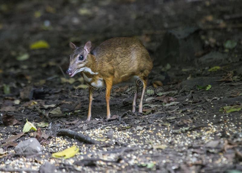 一点鼠鹿 库存照片