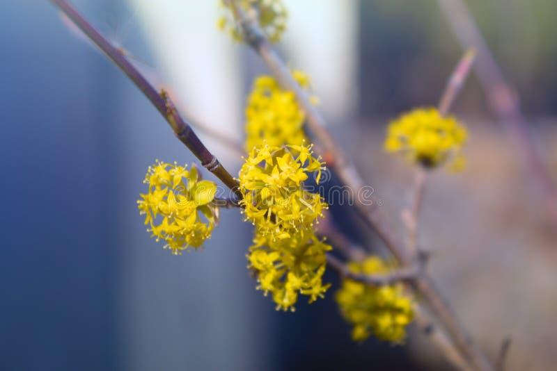 一点黄色春天开花,与黄色小的花的分支 库存照片