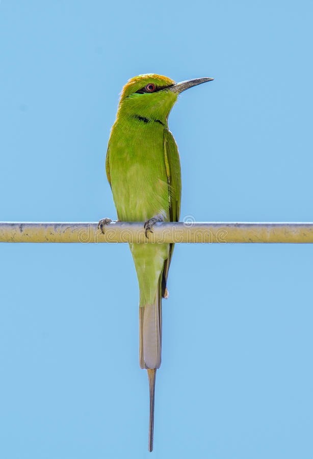 一点绿色食蜂鸟身分 免版税库存图片