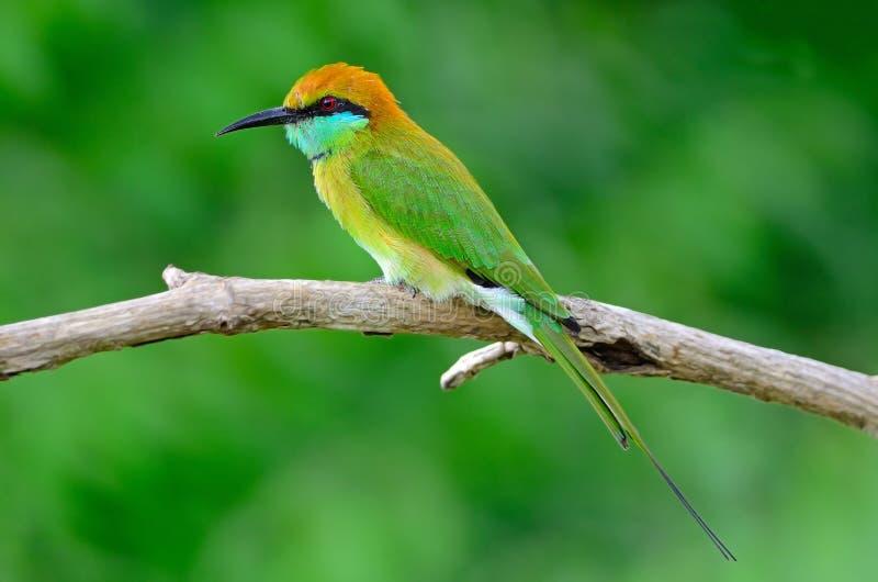一点绿色食蜂鸟 图库摄影