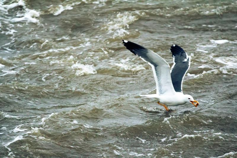 一点black-backed鸥(鸥属fuscus heuglini 免版税图库摄影