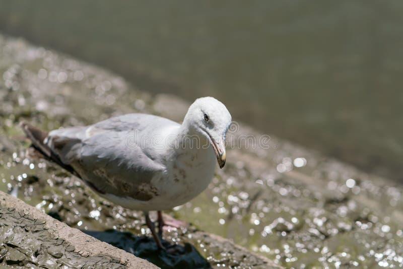 一点Black-Backed鸥(;鸥属fuscus);采取在英国 免版税库存图片
