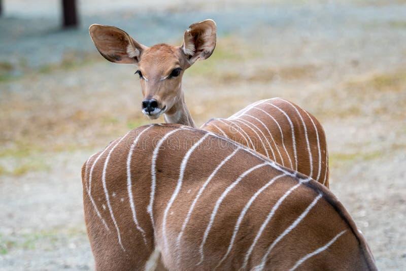 一点Kudu非洲羚羊类Imberbis,幼小羚羊 库存图片