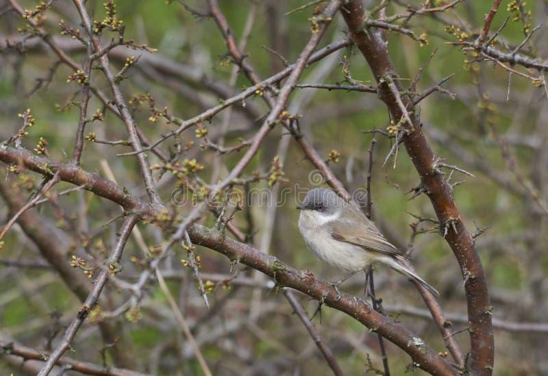 一点whitethroat或西尔维亚海峡curruca是一只非常小候鸟 免版税库存图片
