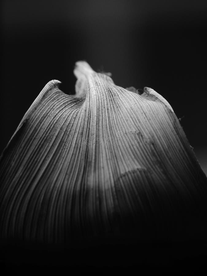 一片叶子的低调黑白图象有灰色颜色和平行的venation的 图库摄影