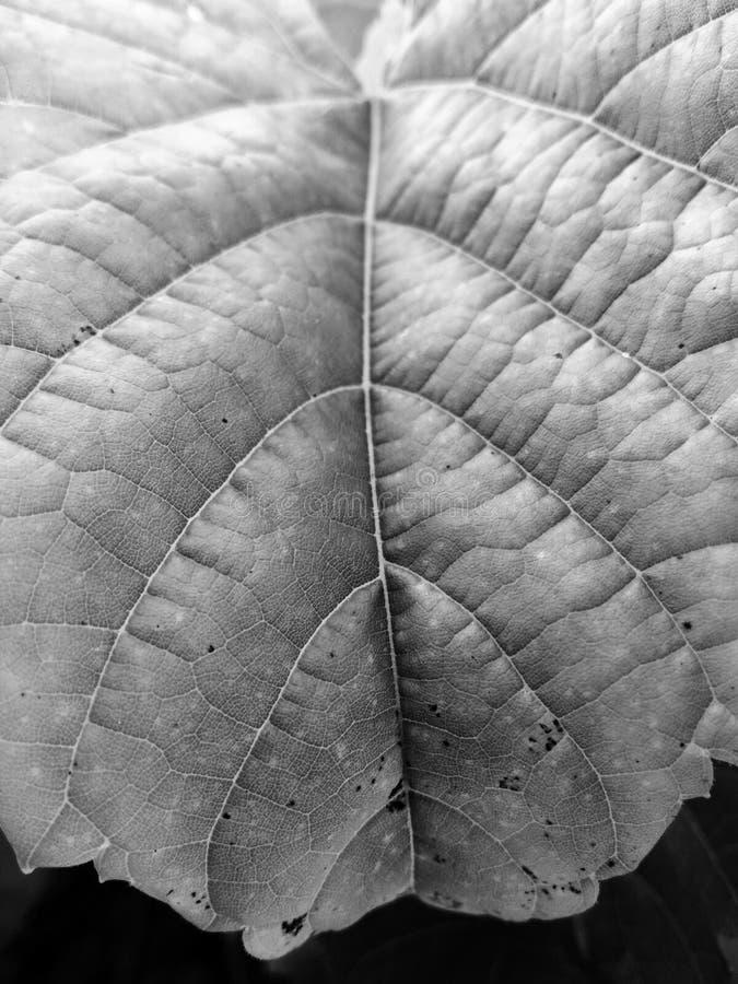 一片叶子的研究在黑白的 免版税库存图片