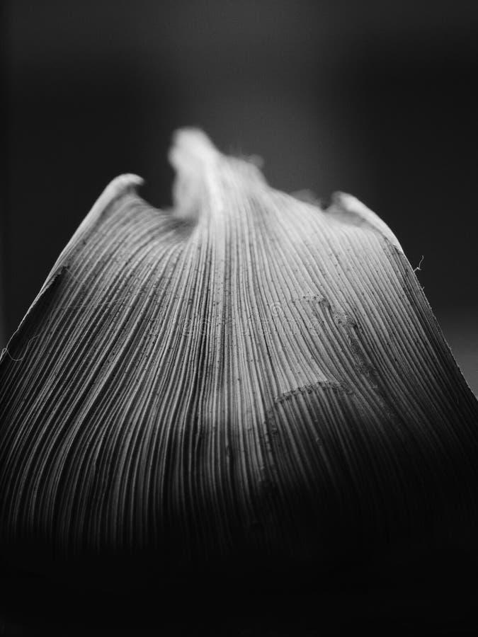 一片叶子的黑白图象有染黑从上面的转折的灰色的与下来与平行的venation 免版税库存图片