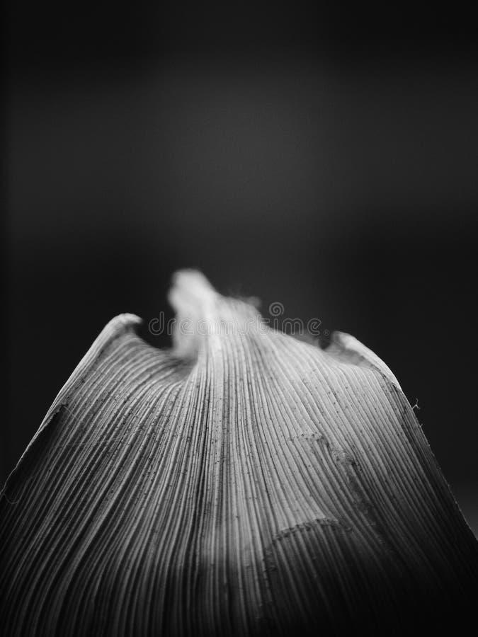 一片叶子的黑白图象有灰色树荫和平行的venation的 库存图片