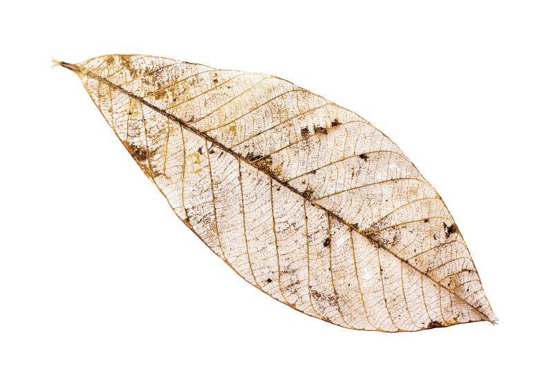 一片恶化的叶子的骨骼特写镜头  免版税库存图片