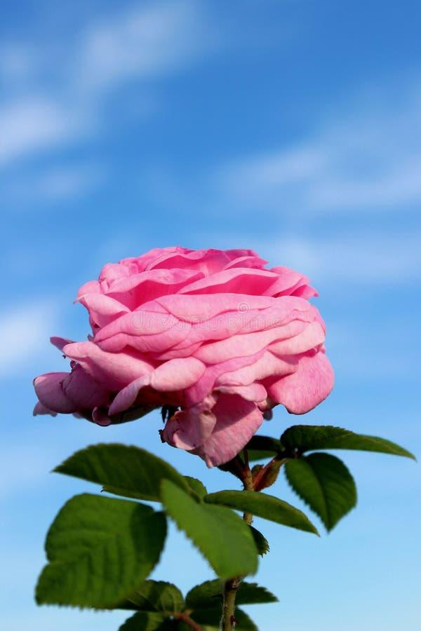 一片桃红色玫瑰和绿色叶子的播种的射击在天空蔚蓝背景 E 图库摄影