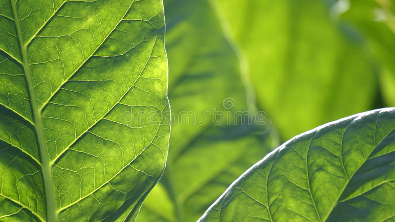 一片棕色烟草叶子的细节 免版税图库摄影