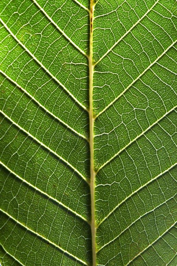 一片绿色叶子的后部的宏观照片有条纹的 叶茂盛自然样式 顶视图 免版税图库摄影