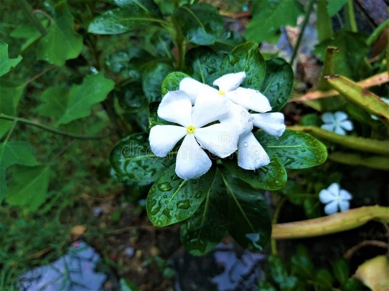 一片美丽的白花& Waterdrop绿色叶子 免版税库存图片