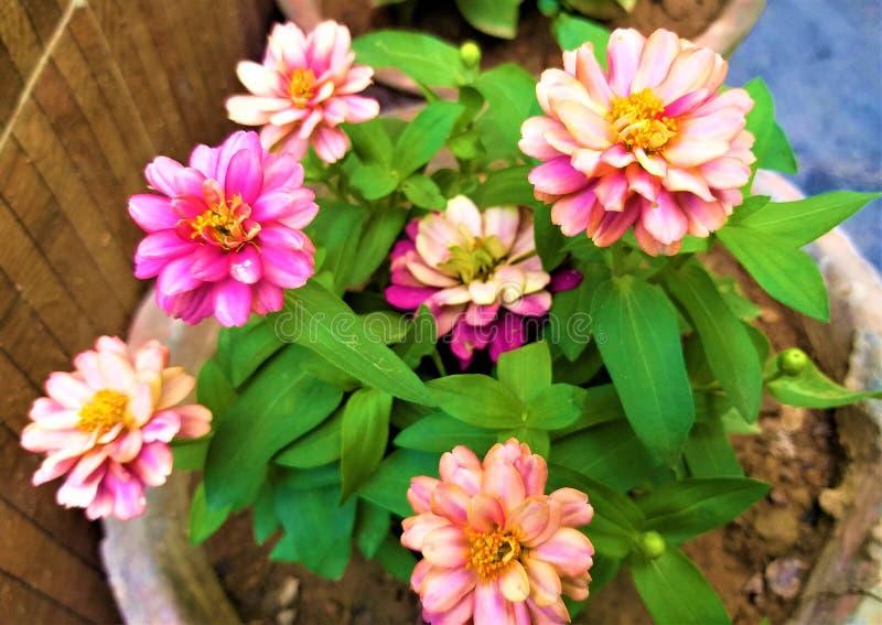 一片美丽的轻桃红色花&绿色叶子 免版税库存照片