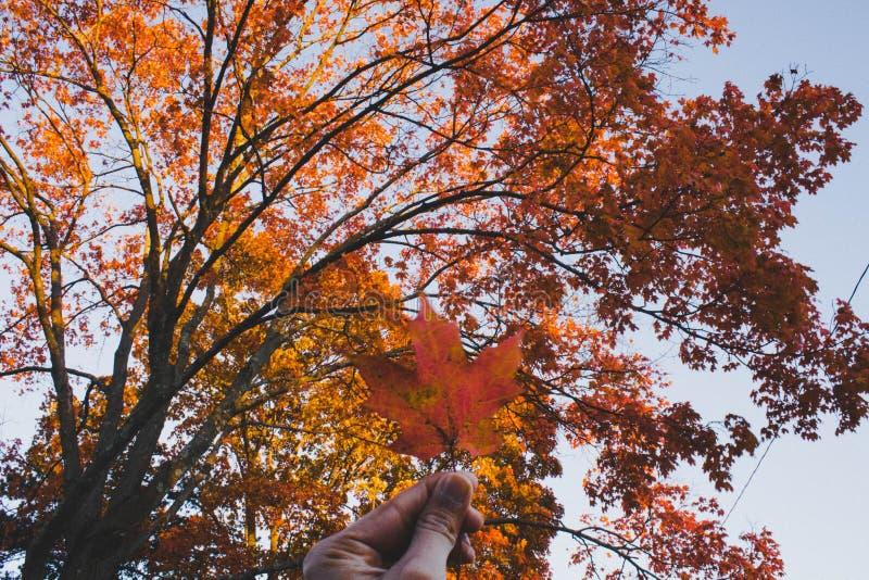 一片金黄叶子在手中有一棵美丽的秋天树的在背景中 库存照片