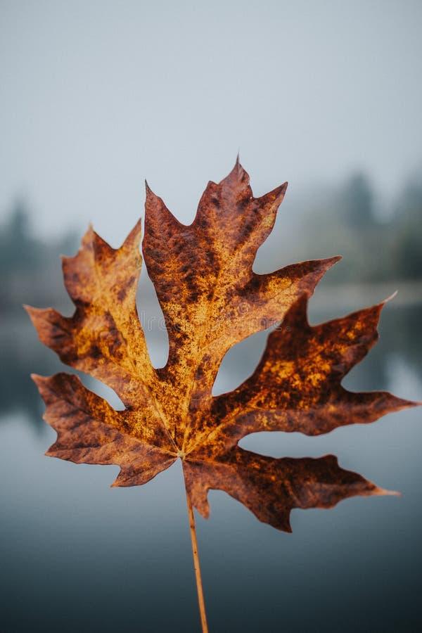 一片金黄大秋天叶子的美丽的特写镜头射击有被弄脏的自然本底 免版税库存照片