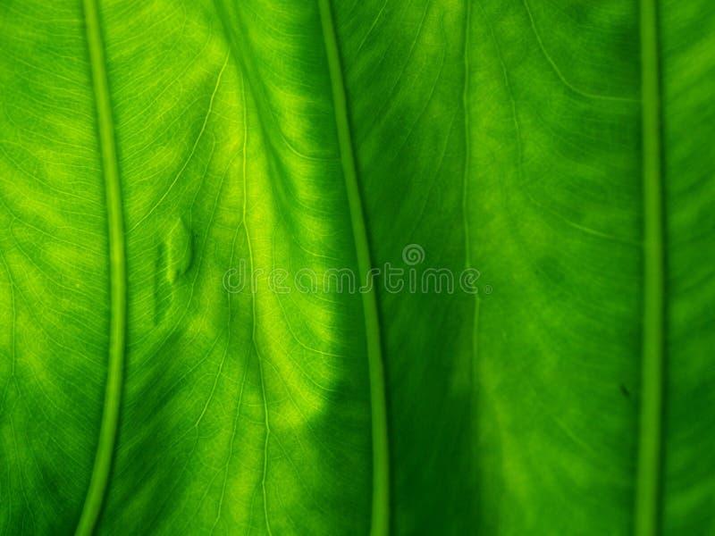 一片绿色叶子的详细的结构 库存照片