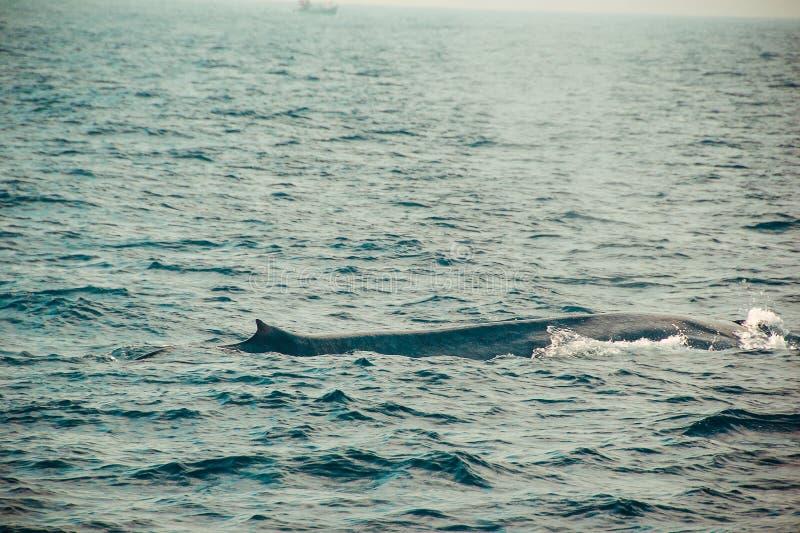 一狂放的蓝鲸游泳在印度洋 野生生物自然背景 文本的空间 冒险旅游业 旅行游览 Mirissa, 免版税库存照片