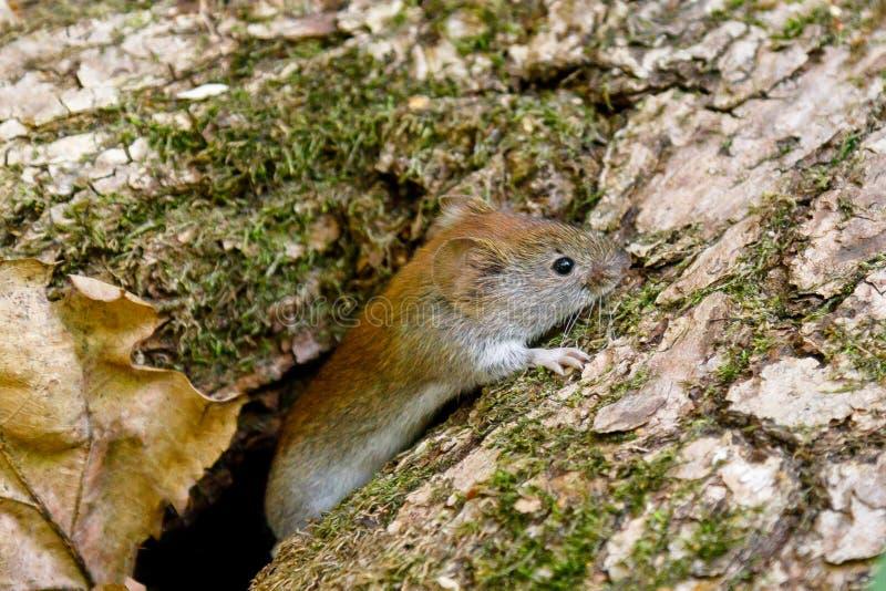 一田鼠老鼠Myodes glareolus在它的自然生态环境在一好日子 免版税库存照片
