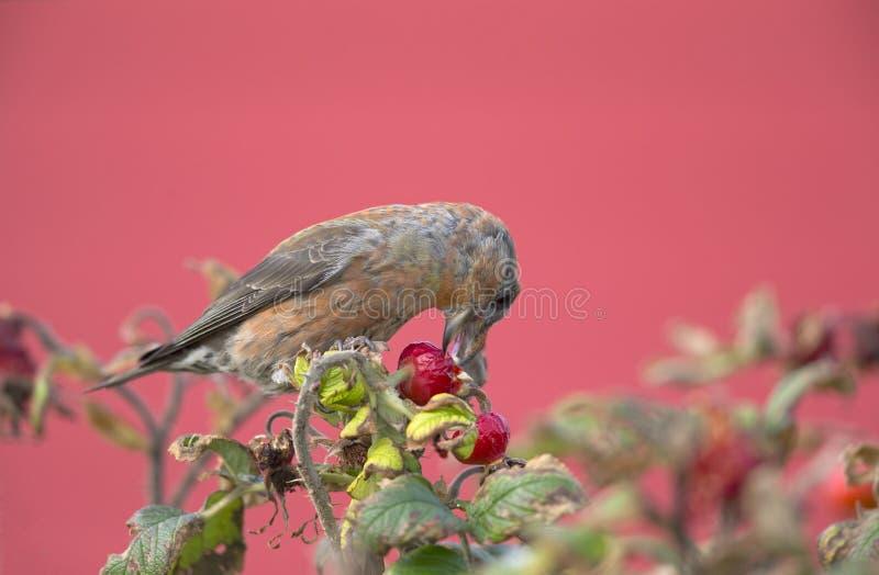 一男性红色反诉状斜颈curvirostra在哺养从玫瑰果灌木的分支栖息在与美丽的一个冷的冬日 库存照片