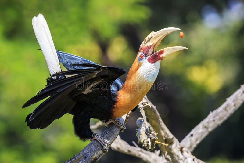 一男性Blyth ` s犀鸟Rhyticeros plicatus的特写镜头画象 免版税图库摄影