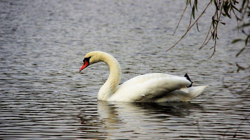 一白色天鹅游泳和在小湖放松 免版税库存图片