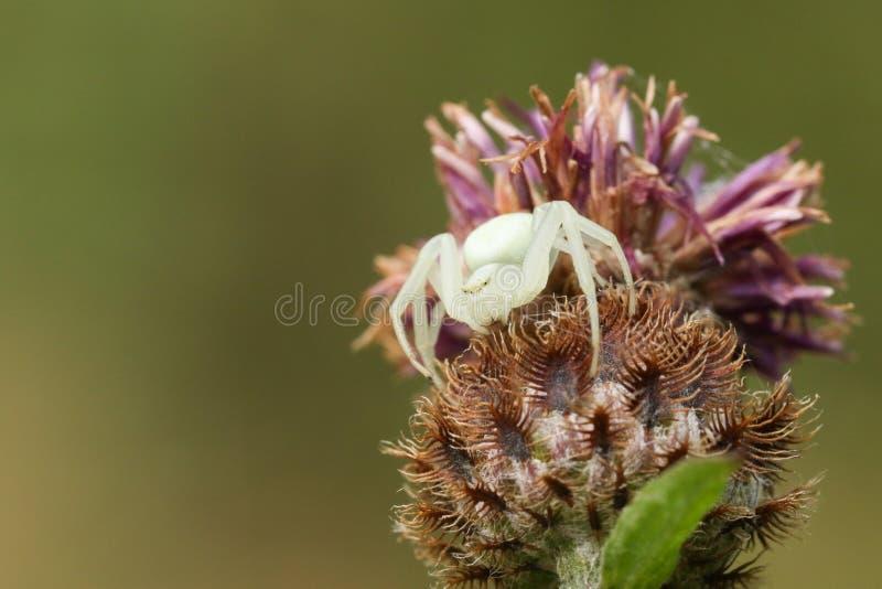 一白色螃蟹蜘蛛Misumena vatia在等待它的牺牲者的花在花和花蜜栖息登陆 免版税库存照片