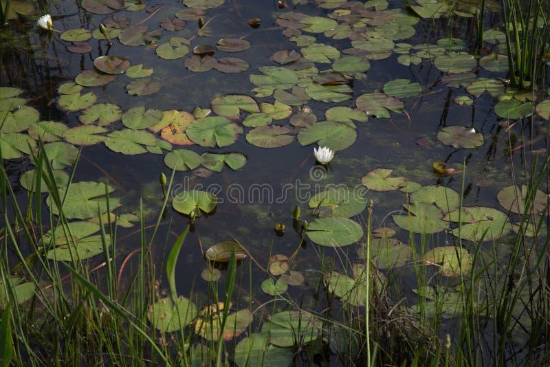 一白色waterlily在深黑色沼泽与睡莲叶和芦苇的沼泽水中在南路易斯安那沼泽沼泽地 库存照片