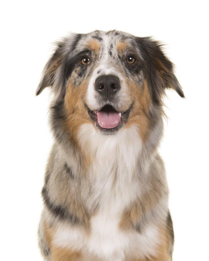 一相当蓝色merle澳大利亚牧羊犬看的画象 免版税库存照片