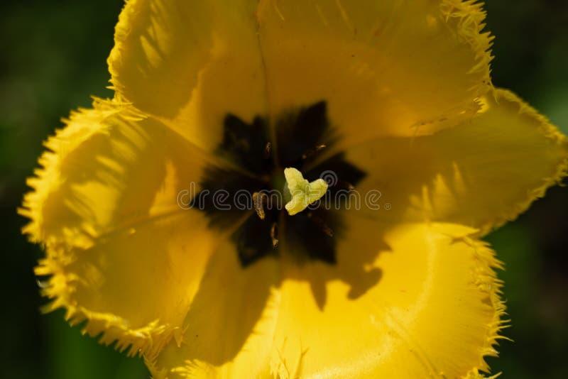 一种异常的颜色的郁金香花的宏观射击在被弄脏的绿色背景的 库存照片