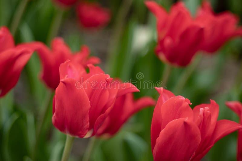 一种异常的颜色的郁金香花的宏观射击在被弄脏的绿色背景的 库存图片