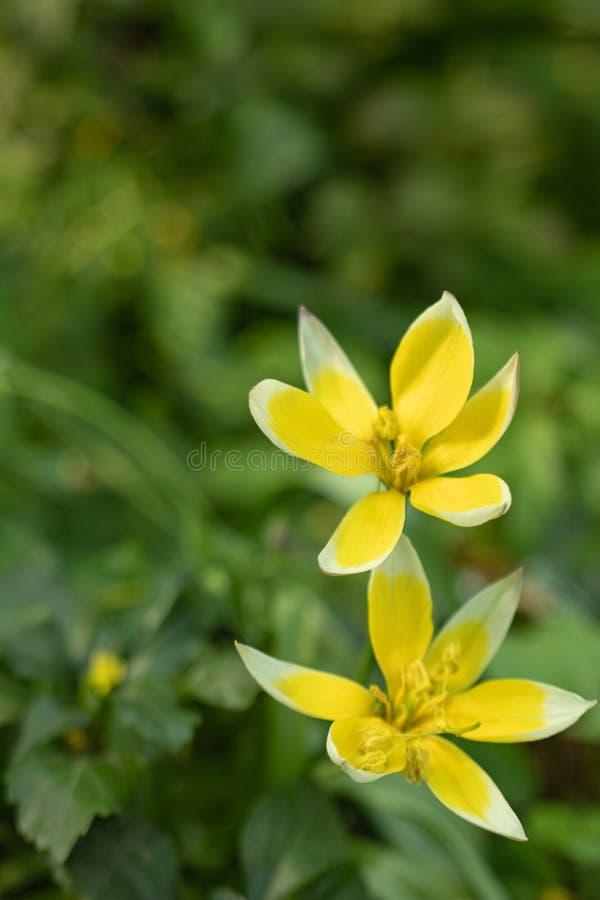 一种异常的颜色的郁金香花的宏观射击在被弄脏的绿色背景的 免版税库存照片