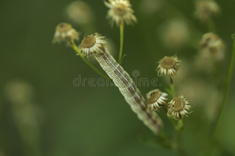 一种毛毛虫与其周围环境混合 免版税库存照片