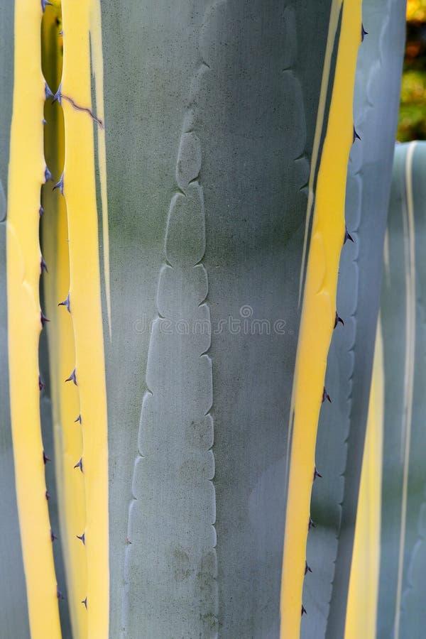 一种长的质地灰色绿的颜色的特写镜头与黄色条纹的和美国植物的龙舌兰,垂直的floristi的钉叶子 库存照片