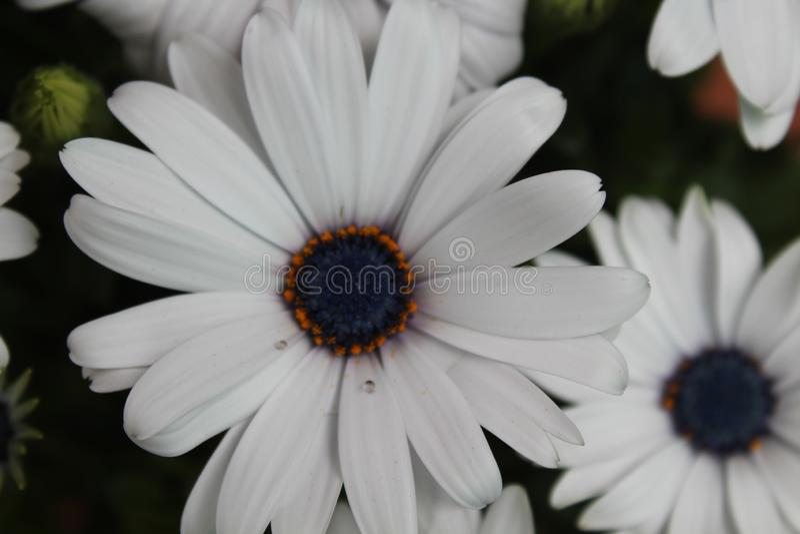一种难以置信的颜色和一个特别气味的美丽的花 免版税图库摄影