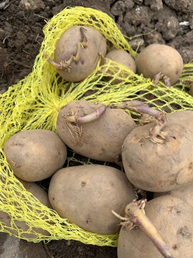 一种马铃薯种植用切花 免版税库存图片