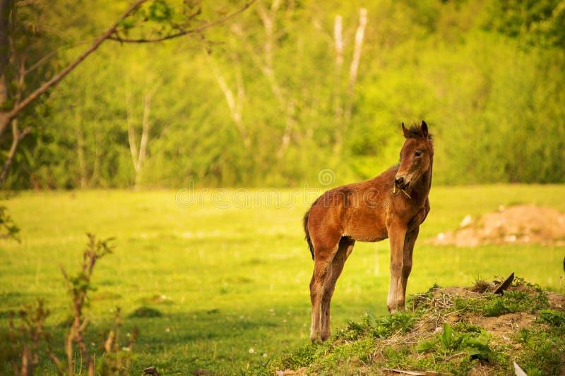 一种黑褐色颜色的幼小驹在一个绿色草甸调查照相机并且吃草反对年轻人的背景 免版税库存照片