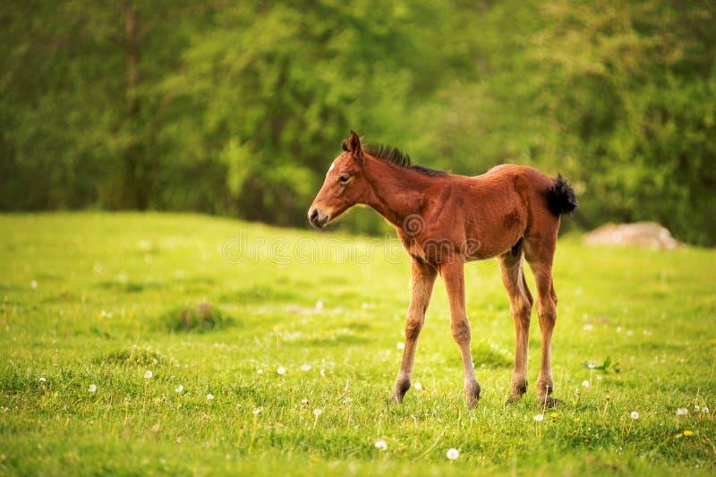 一种黑褐色颜色的幼小驹在反对一个年轻森林的背景的一个绿色领域吃草光芒的  库存图片