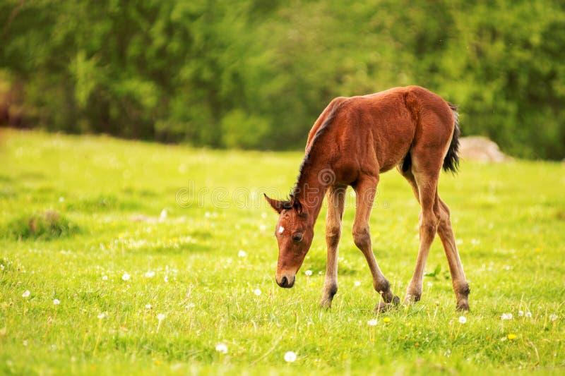 一种黑褐色颜色的幼小驹在反对一个年轻森林的背景的一个绿色领域吃草光芒的  库存照片