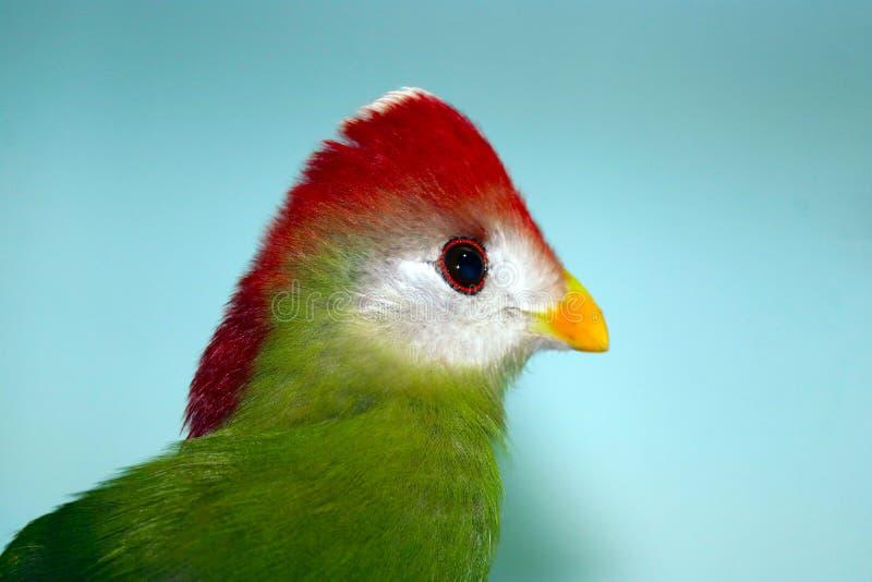 一红有顶饰蕉鹃tauraco erythrolophus的头在外形视图的在蓝色背景前面 库存图片