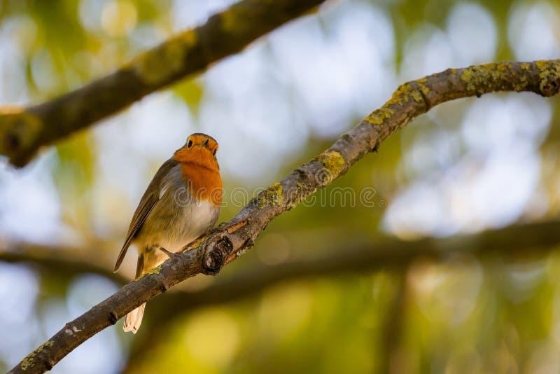 一红色知更鸟或画眉rubecula 在从事园艺的追求期间,这只鸟是一个普通伴侣 免版税库存照片