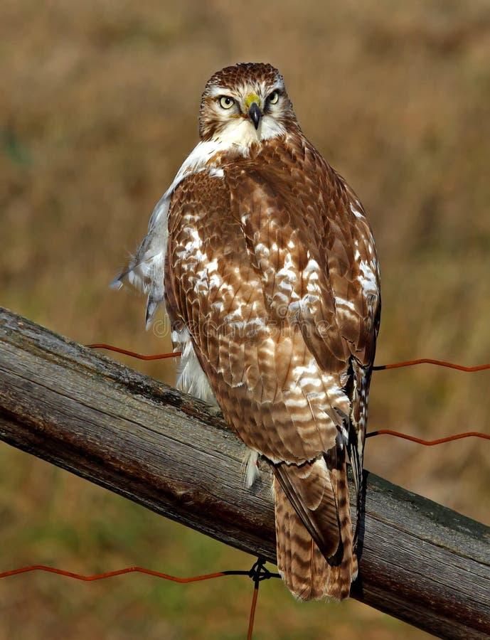 一红被盯梢的鹰鵟鸟jamaicensis在篱芭栖息 免版税库存图片
