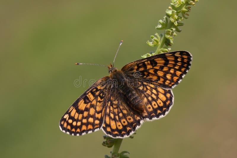 一罕见的Glanville贝母蝴蝶Melitaea cinxia在大陆英国发现了 库存图片