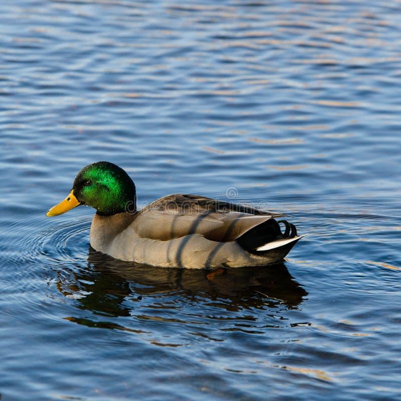 一美丽的野鸭男性游泳在水中 库存照片